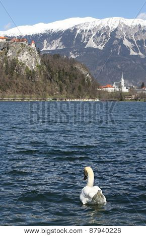 Swan Swims In Lake Bled And The Medieval Castle