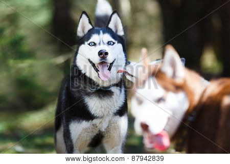 Husky In A Forest
