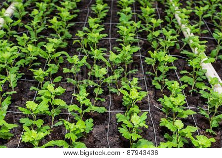 Small Chrysanthemum Cuttings Growing In A Glaashouse