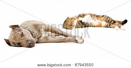 Dog breed pit bull and Scottish Fold cat sleeping together
