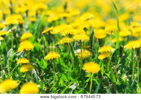 Dandelion flowers in spring