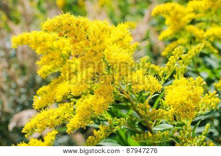 Blooming Goldenrod, Solidago flower
