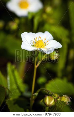 Blackberry Bush Flowers (rubus Fruticosa), Buds And Foliage