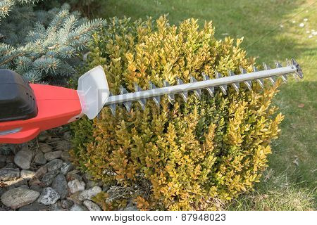 Cutting Wintergreen Plant By Electric Fence Scissors.