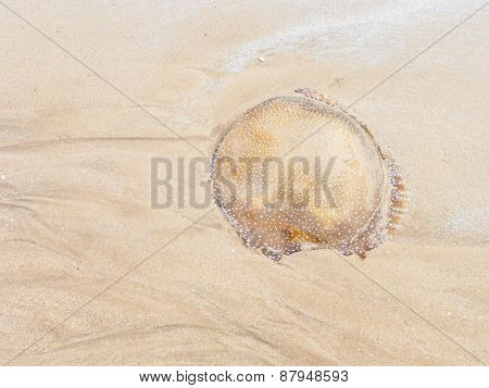Died Jellyfish