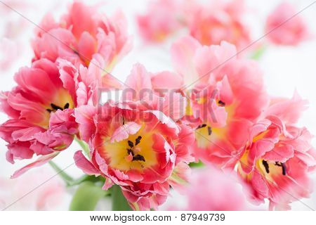 Background of beautiful pink double peony tulip
