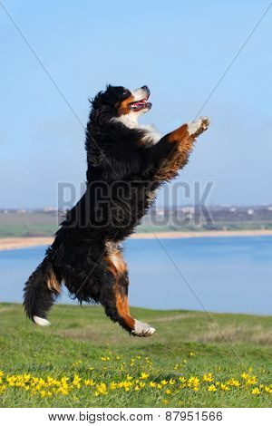 Dog jump in spring field