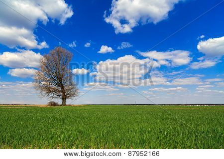 Isolated Tree In A Field Of Wheat