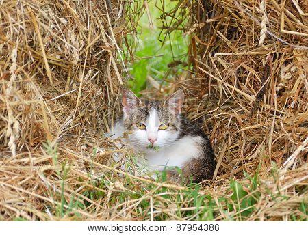 Cute Kitten Sits In Hay