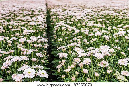 Rows Of Pink Chrysanthemums