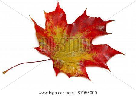 Close Up Of Maple Autumn Leaf