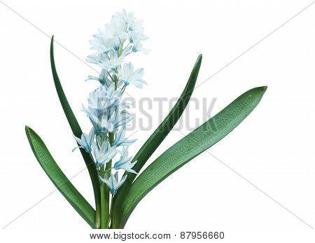 Blue Libanotica Flower Plant