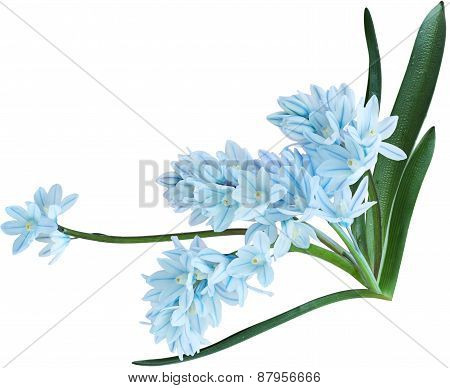 Puschkinia Flowers
