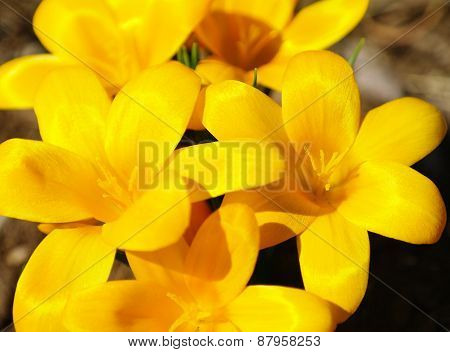 Crocus Vernus (spring Crocus, Giant Crocus) Spring Flower
