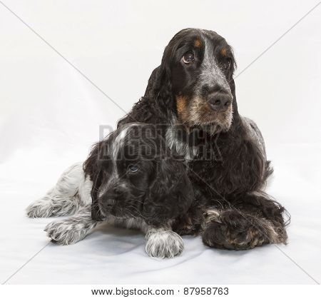 English Cocker Spaniel Family.