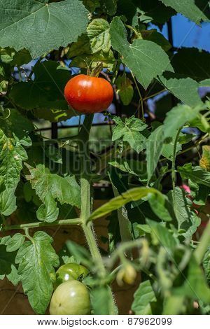 Tomato Branch. Home Kitchen Garden. Red And Green Vegetables.