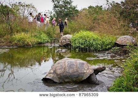 Giant tortoises, Geochelone elephantopus, in their natural habitat, Santa Cruz, Galapagos Islands