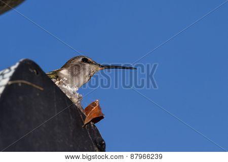 Hummingbird nestig