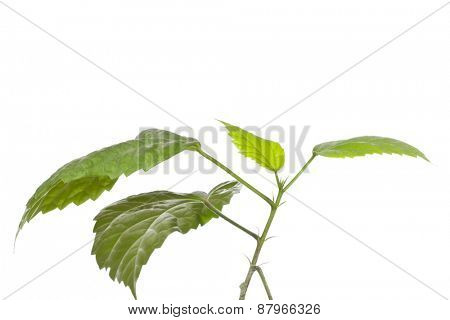 Nice and green new growth plant isolated on white background