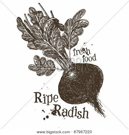 fresh vegetables vector logo design template. ripe radish or turnips, radishes icon.