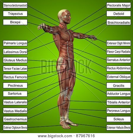Concept or conceptual 3D male or human anatomy, a man with muscles and text on green gradient background