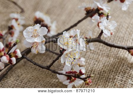 flowers of apricot in april