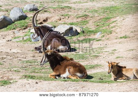 Sable Antelope - Hippotragus Niger
