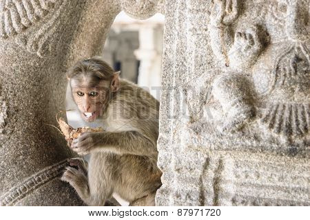 The Monkey Eats A Coconut