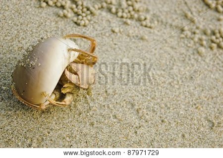 Hermit Crab In A Shell