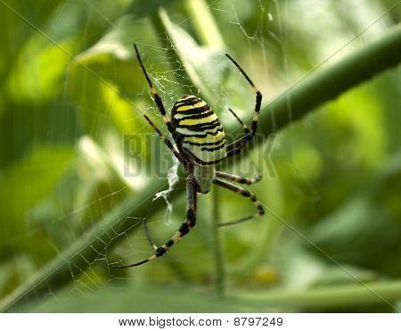 Spider Argiope Bruennichi