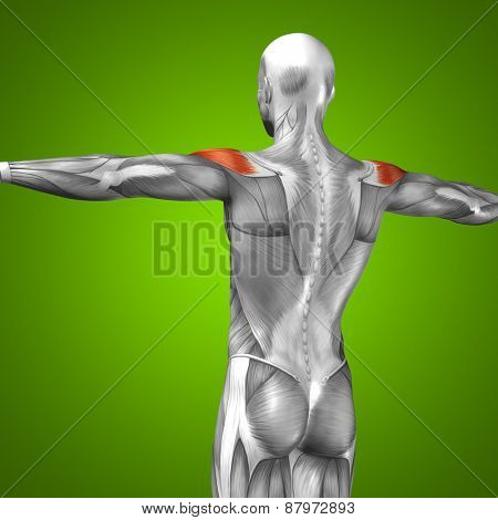Concept or conceptual 3D back human anatomy or anatomical and muscle on green gradient background