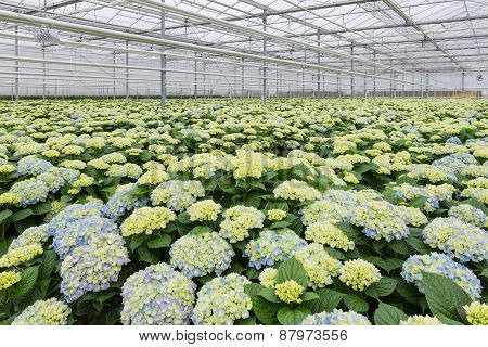 Greenhouse With Cultivation Of Hydrangea