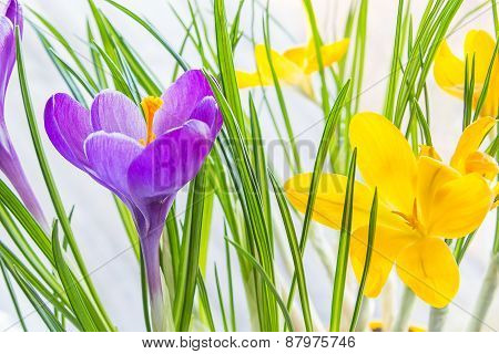 Violet And Yellow Crocus Close Up