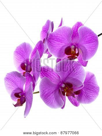 Branch of blooming orchid. Close up on a white background