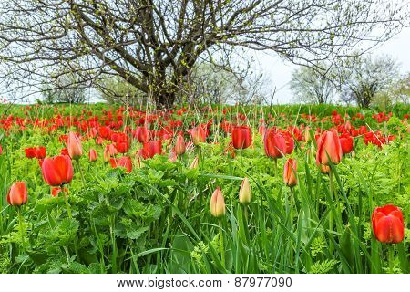 Red Tulips In A Wild Pitch In The Weeds