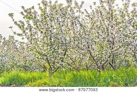 Blossoming Apple Orchard At Sunset