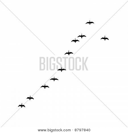 vector illustration flock geese on white background