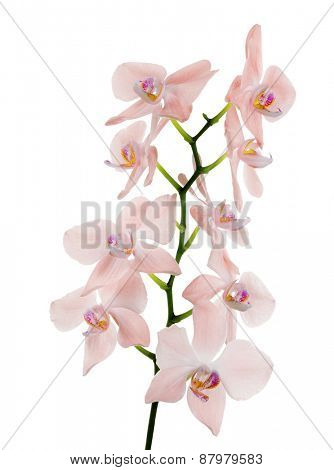 light pink orchid flowers isolated on white background