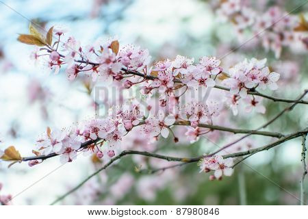 Pink Chinese Plum Flowers Or Japanese Apricot Flowers, Plum Blossom Soft Focus And Blurred Backgroun