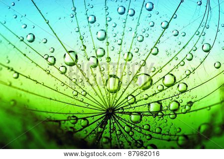 dandelion flower with water drops