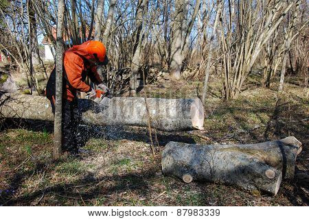 Worker Cuts A Big Tree Trunk