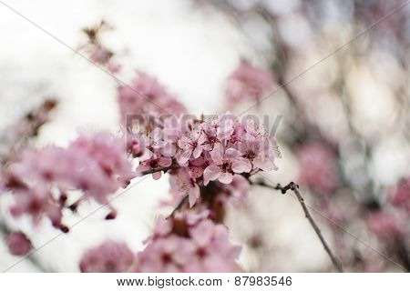 Spring Scenic - Twig With Pink Plum Blossoms