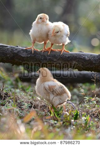 Three young chickens
