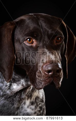 german shorthaired pointer portrait on black background