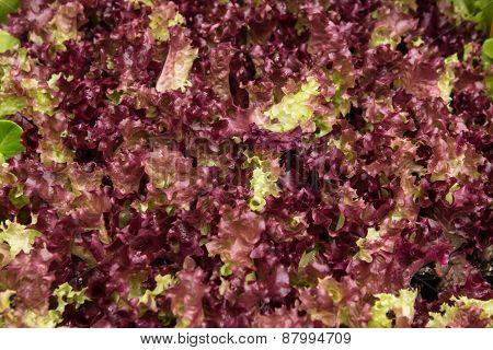 Coral lettuce salad leaves