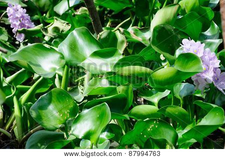 Purple Water Hyacinth