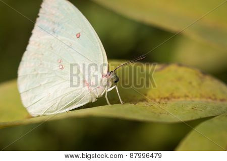 thai butterfly on green leaves