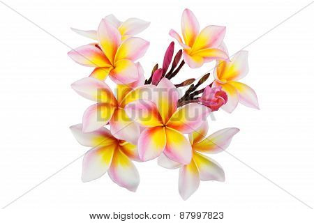 Pink Plumeria Flowers Isolated On White Background, Focus At Center