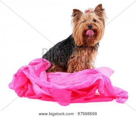 Cute Yorkshire terrier with pink scarf dog isolated on white