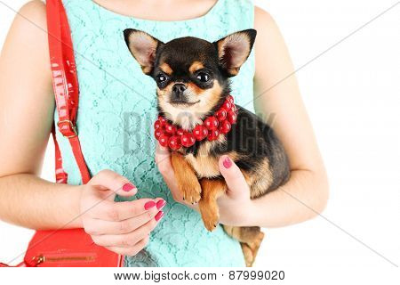 Woman with red bag holding cute chihuahua puppy isolated on white